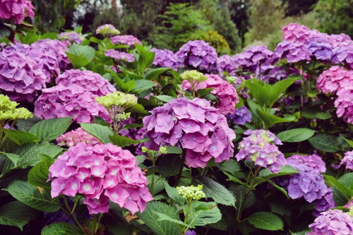 There are many popular hydrangeas but one of the most popular is the mophead hydrangea. This is the one almost all gardeners and florists are acquainted with best and if you purchase flowers from a florist it is likely a mop head variety.