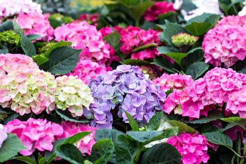 When hydrangeas bloom is really based on the type of hydrangea you have.