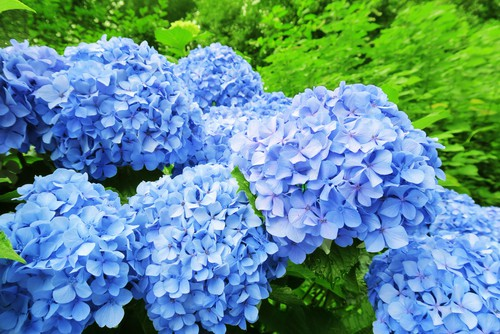 If you are going to grow mophead hydrangeas, one of the most exciting secrets is that by caring for the soil composition you can change the color of the flowers. If you grow your mophead hydrangeas in acidic soil it will produce blue flowers. If you grow it in highly alkaline soil it will produce pink flowers.