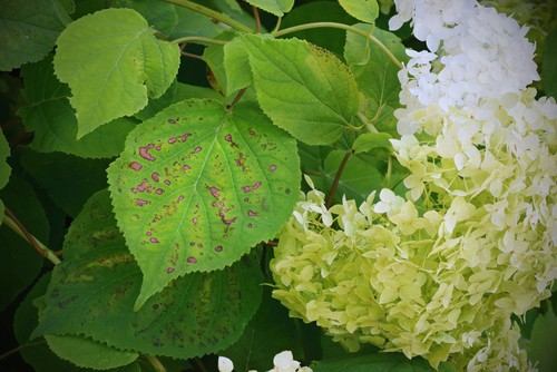 Fungal diseases will produce purple spots on your hydrangea leaves. If you have purple spots it might be indicative of cercospora leaf spot, a common leaf fungus.