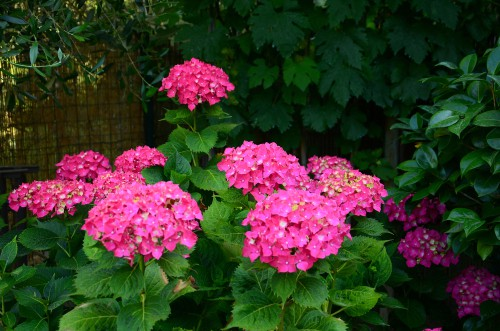 Can you move a mature hydrangea? yes