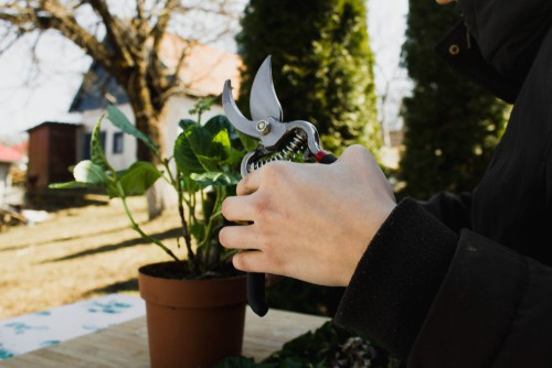 After you see the transformation from young seedling to small plants, you should follow the same steps you would grow your hydrangea from a cutting by transferring the propagated plant directly to your garden or a container.