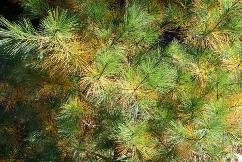 Conifer needles turning yellow and brown