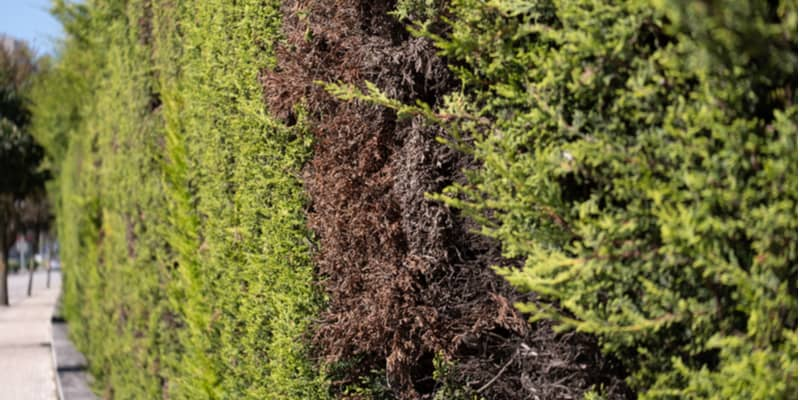 There are many reasons conifers start to turn brown from winter browning caused by cold weather to diseases such as Pestalotiopsis dieback.