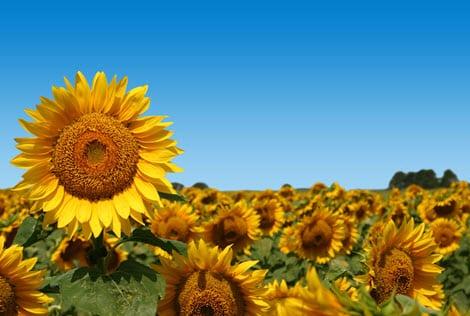 New solar energy system mimics sunflowers