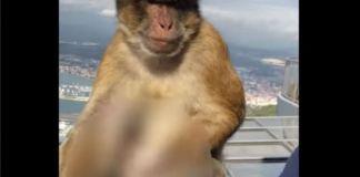 Naughty Monkey Masturbates