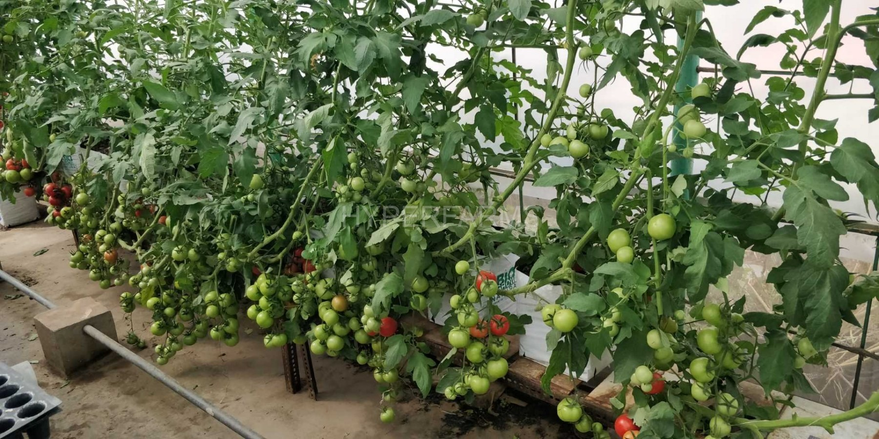 cocktail-tomato-hydroponics-hyperfarms-in-india5-Large