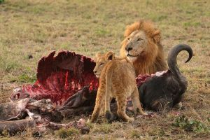 [cml_media_alt id='2148']Politically correct lion being passive aggressive to a poor vegetarian[/cml_media_alt]
