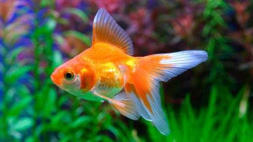 К чему снится золотая рыба женщине | толкование всех снов