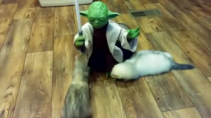 Yoda Vs Ferrets