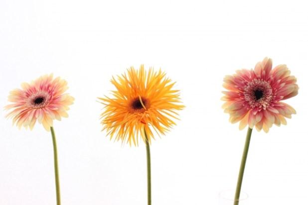 花びらが細ガーベラ