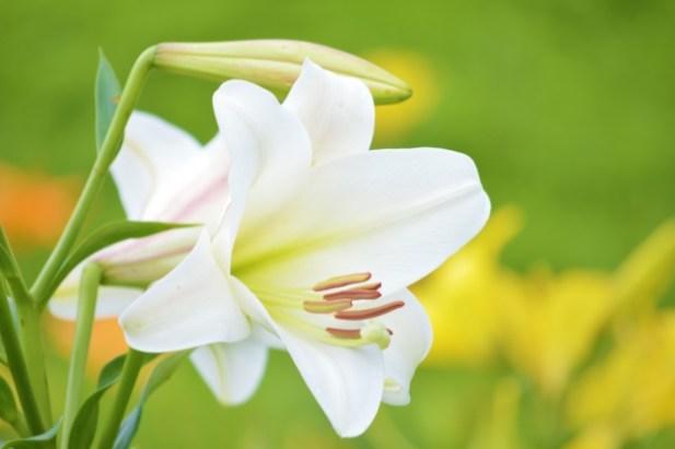 ユリのお花