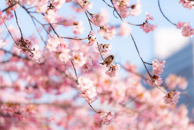 きれいな桜の花