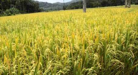 السلطة السورية تطرح مناقصة لشراء 25 ألف طن من الأرز الأبيض