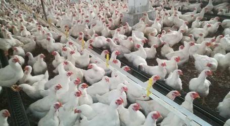 أسعار الفروج تحلق في أسواق دير الزور الغنية بالثروة الحيوانية