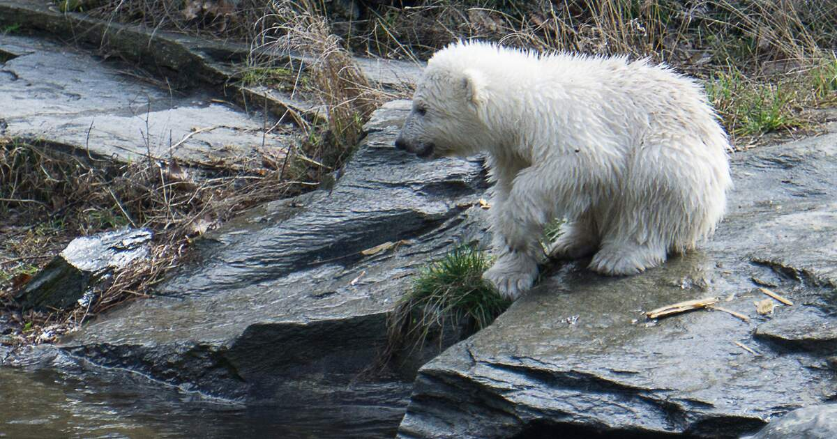Baby Polar Bear Causes A Storm Of Visitors At Berlin Zoo
