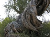 Thousands years old Olive Tree in the original olive grove