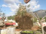 Thousands years old Olive Tree in process to be transplanted in the Olive Theme Park [courtesy Astros-Kynourias]-News)