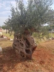 Thousands years old Olive Tree transplanted in the Olive Theme Park [courtesy ERT]