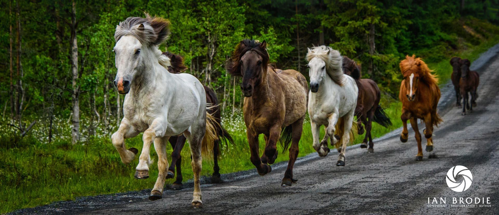 Icelandic Horses at Mesna.