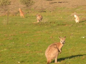 Gray kangaroos with great red kangaroo in the distance (click to enlarge).