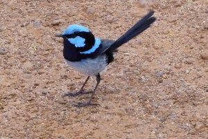 Superb fairy wren (male). (Click to enlarge then back-arrow to return to article).
