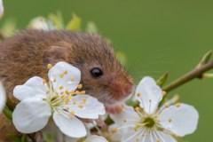 Harvest mouse photo workshop
