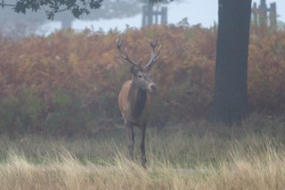 Richmond Park young stag