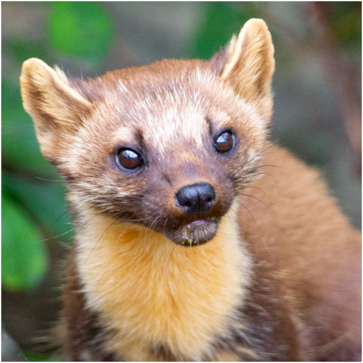 Cropped image of a Pine Martin