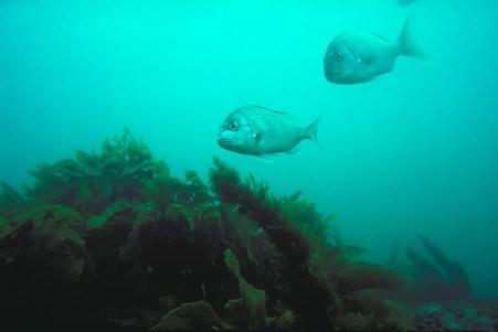 Snapper鱼,中文叫做阻击手鱼。