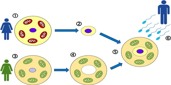 Mitochondrial-replacement-therapy-upsc.