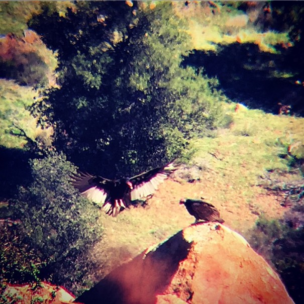Turkey Vultures shot with iPhone 6 and Carson Universal