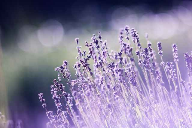 shallow focus photography of lavenders