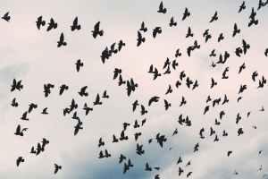 flock of black birds under white cloudy sky