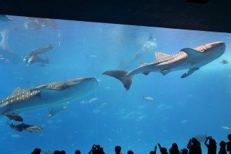 3尾のジンベイザメが大迫力