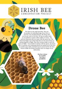 Reverse of the Irish Bee Conservation Project adopt a Drone Bee certificate