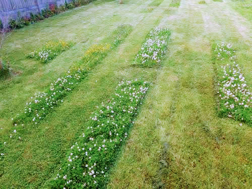 A mohican lawn cut with strips of wildflowers