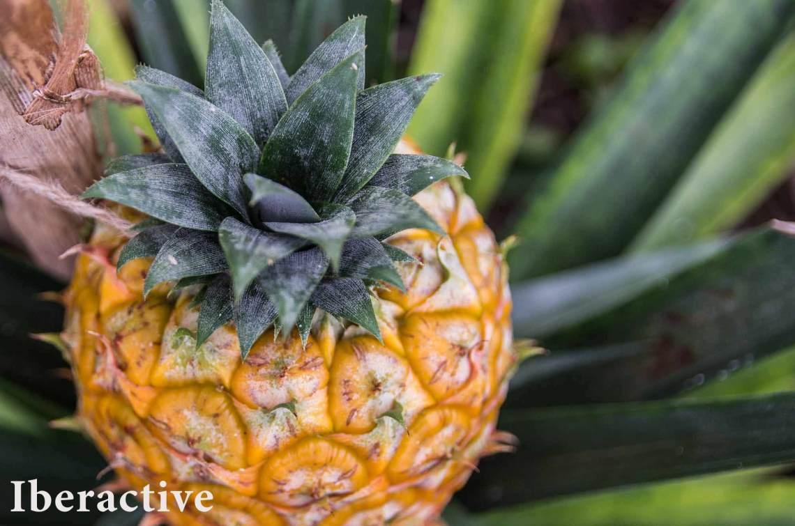 Azores Tour - Pineapple Plantation, São Miguel Island, Azores