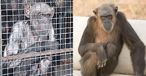 Uno de los chimpancés rehabilitados en Rainfer a su llegada y tras la rehabilitación / Rainfer