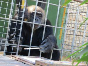 Uno de los 8 chimpancés participando en la actividad de pintura/ Laura Baracchi