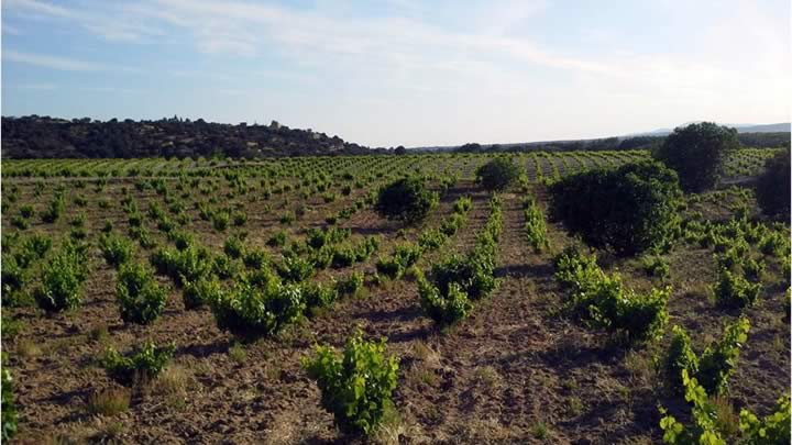 Vega Berciana Mentrida vineyards