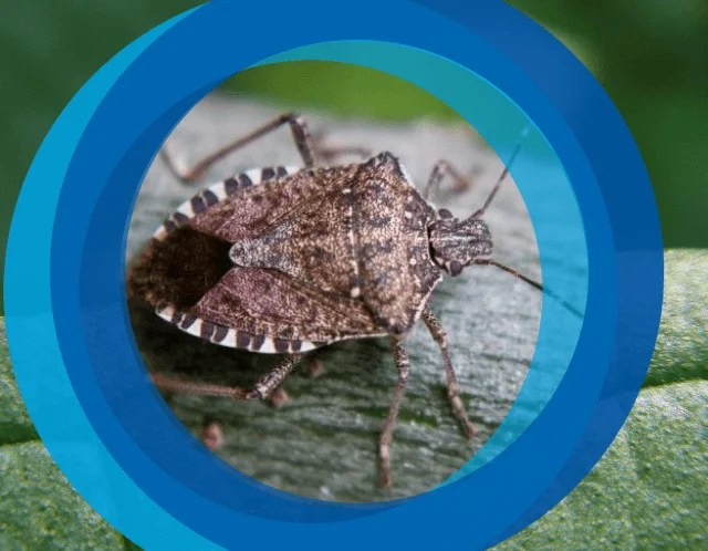 Stink Bug Season 2019 / 2020