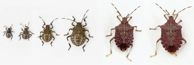 Life stages of BMSB. Left to right: four nymphal stages (2nd, 3rd, 4th & 5th instar), adult male & adult female