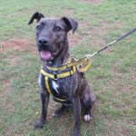 Is Sarah the stunning Staffie you've been searching for?