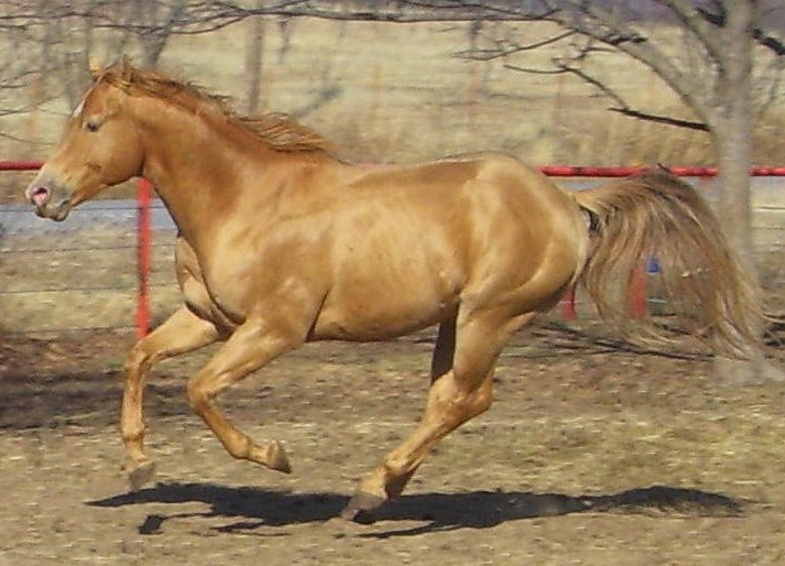 Image result for gold champagne horse