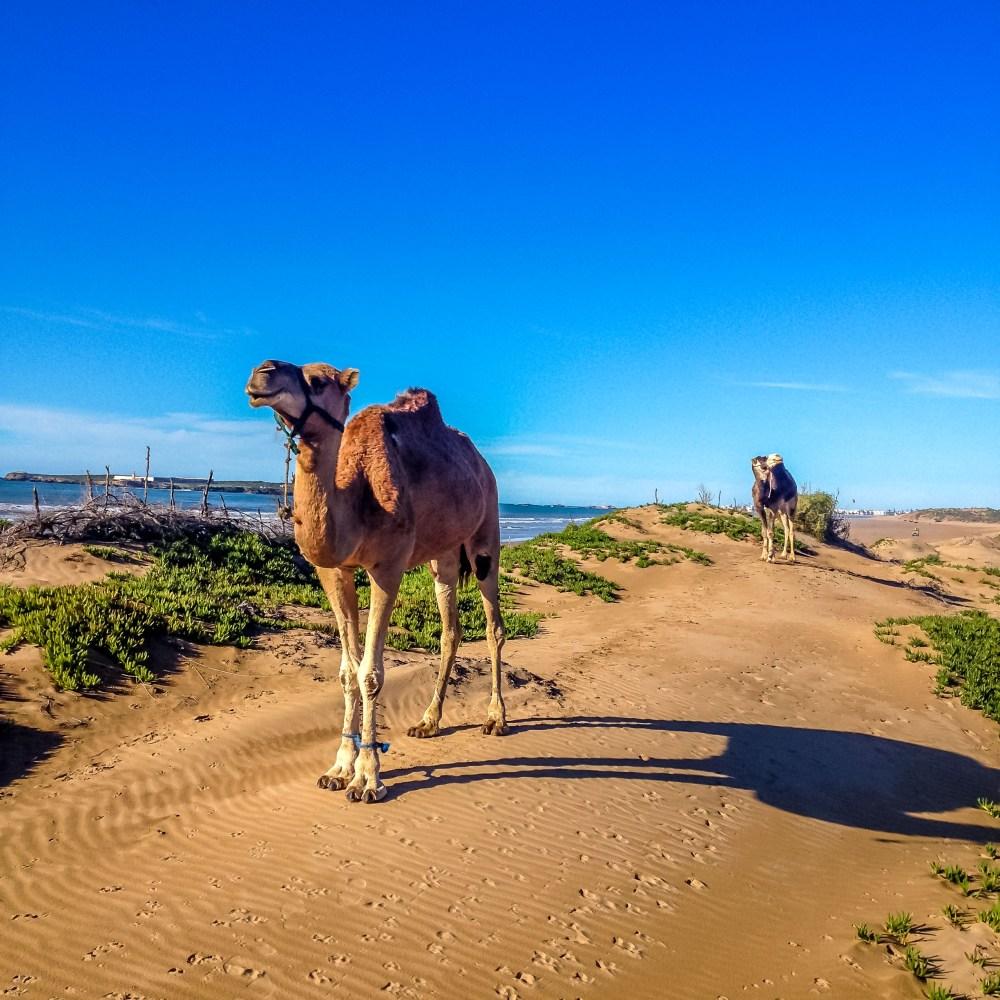 Essaouira maroc chameau