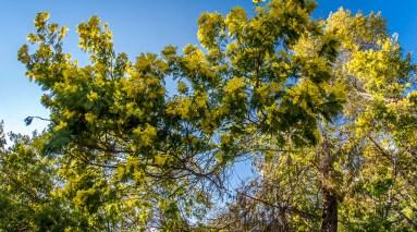 Blog voyage cote d'azur côte d'azur Alpes maritimes route du mimosa Madelieu-la-napoule Bormes les mimosas Tanneron