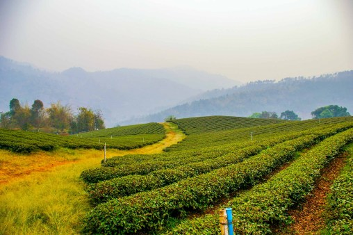 champ de thé maesalong mae salong thailande blog voyage blogvoyage icietlabas