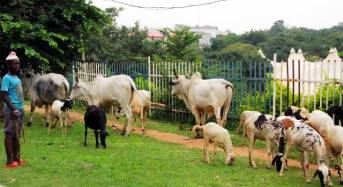 Abuja Gets Committee To Address Cattle Grazing, Rustling