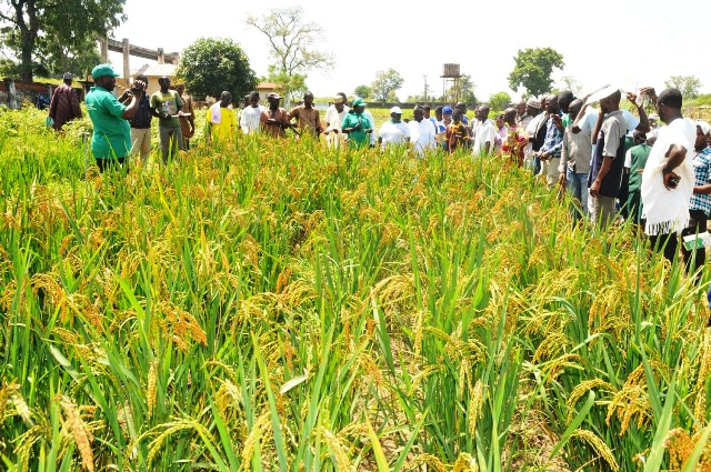 Image result for KEBBI RICE